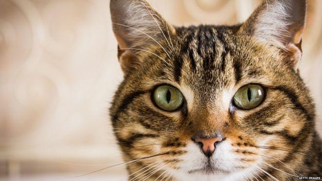 половая охота у кошек