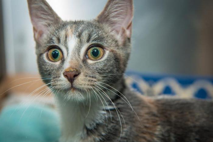 ринотрахеит у котят