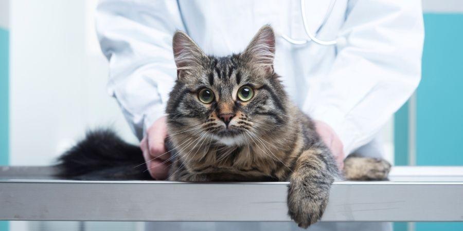 лечение ринотрахеита у кошек схема