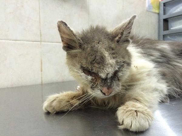 саркоптоз у кошек симптомы фото и лечение