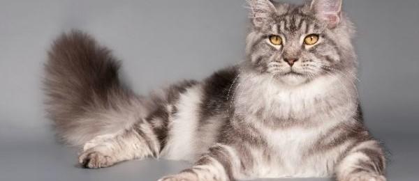 как узнать сколько котят будет у кошки