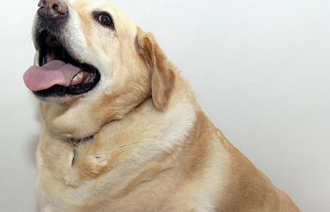 собака тяжело дышит и не ест
