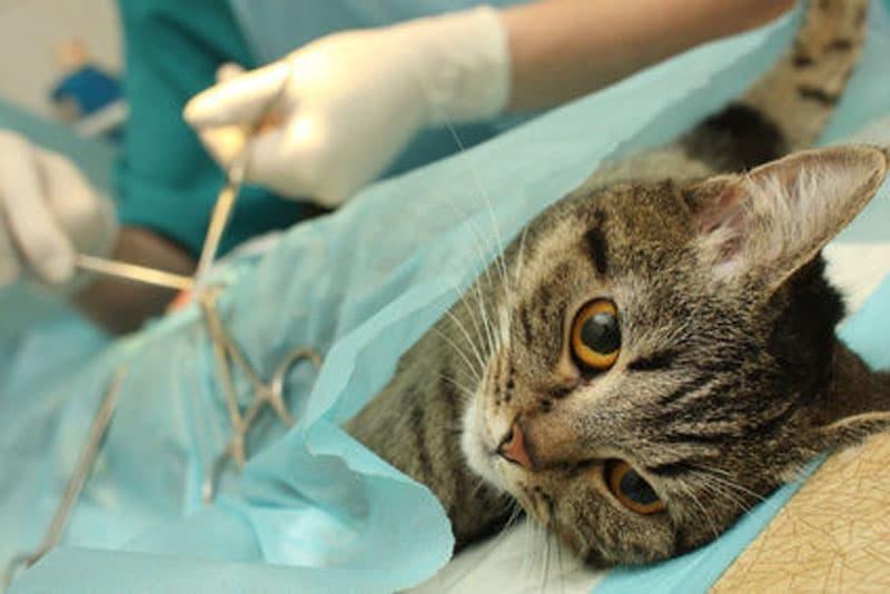 лапароскопия кошек