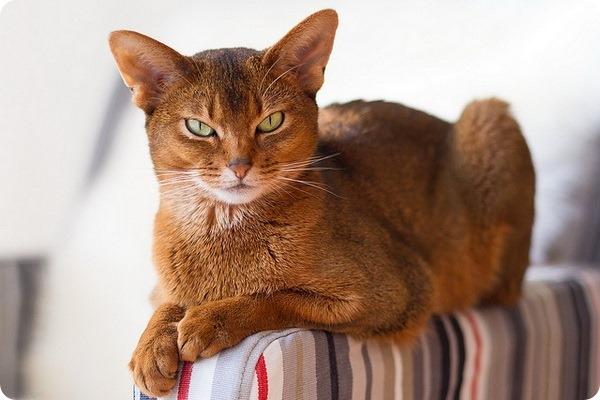 продолжительность течки у кошек