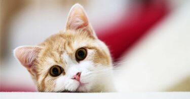 токсоплазмоза у кошек