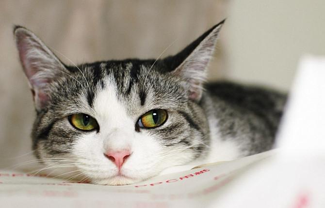 профилактика токсоплазмоза у кошек