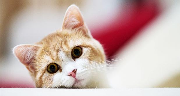 заболевание от кошек токсоплазмоз