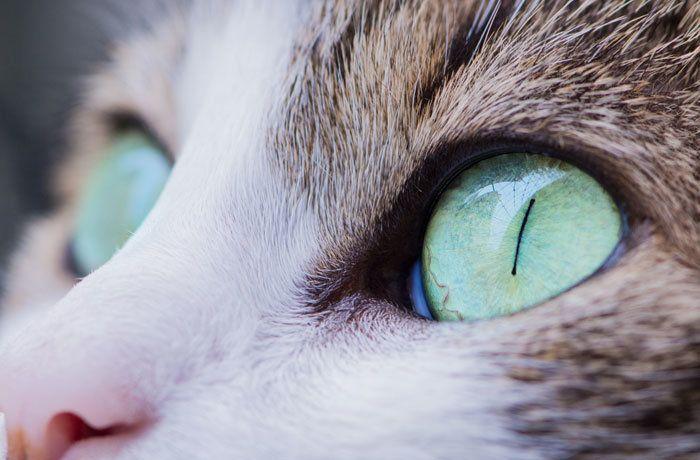 выпадение третьего века у кошек лечение