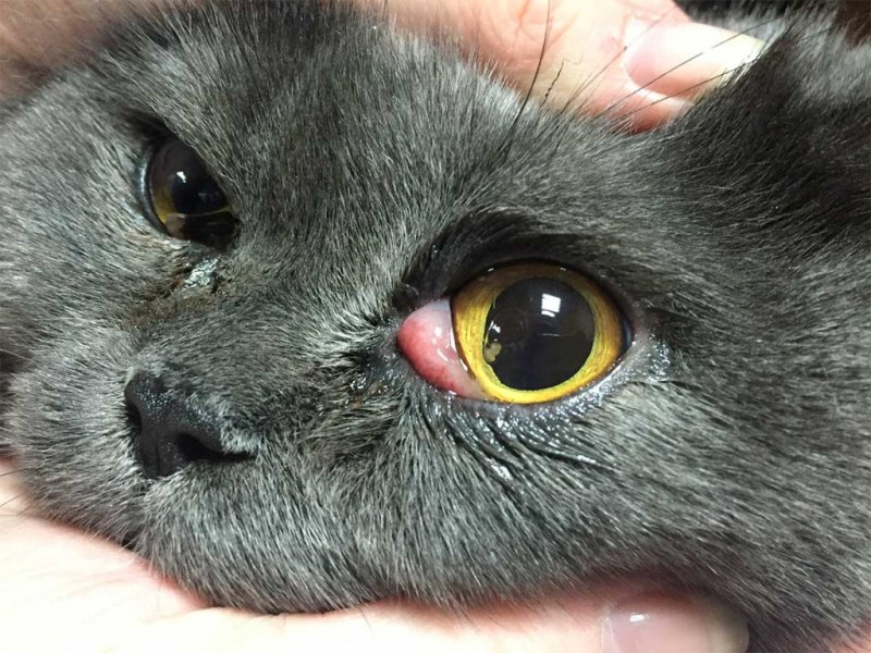 у кота глаза закрываются третьим веком фото