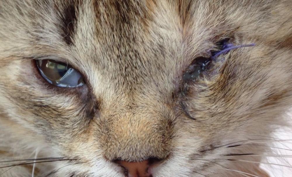 воспаление третьего века у кошек лечение