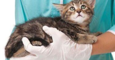 Вздутие живота у котенка