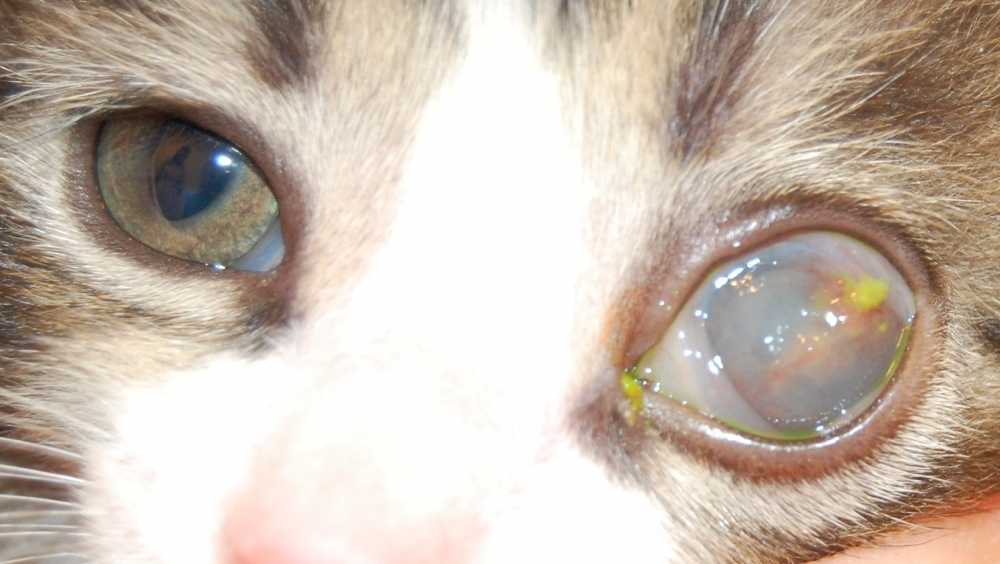панофтальмит у кошек