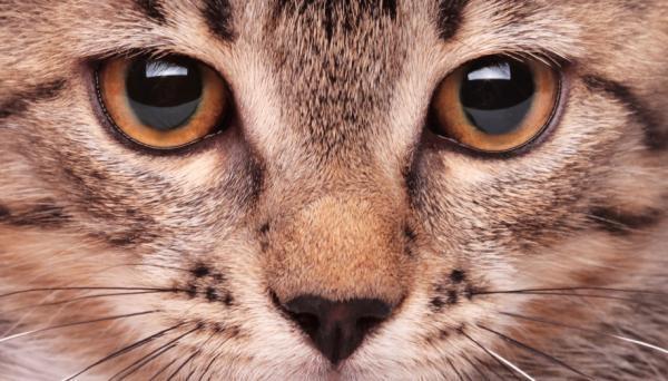 у котенка гноятся глаза чем лечить