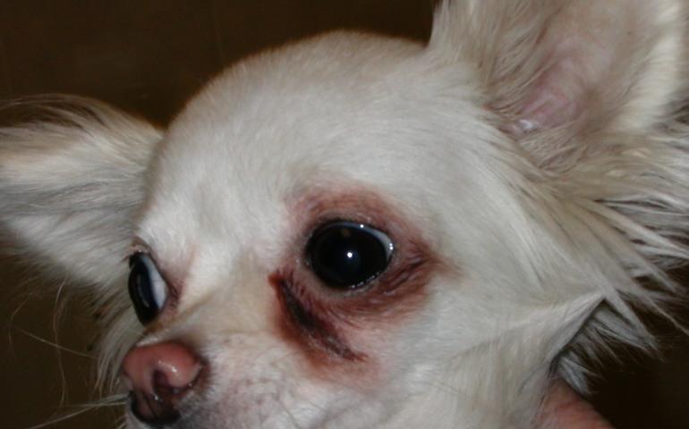 слезятся глаза у собаки причины