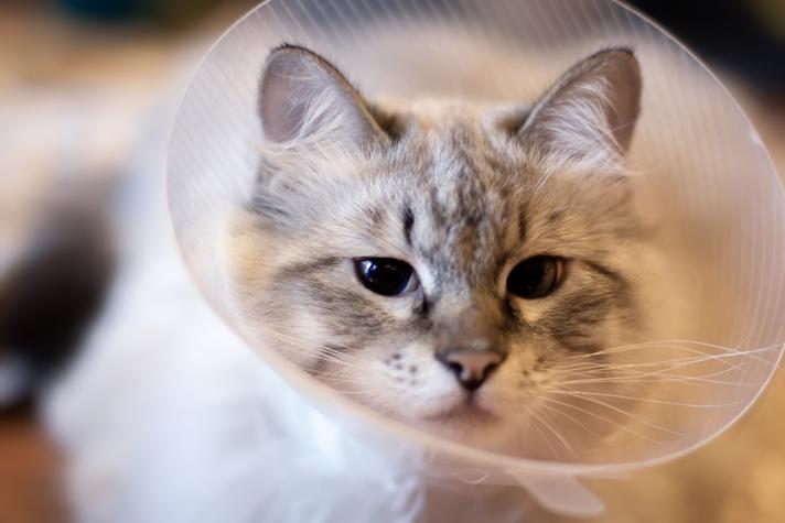 когда можно кормить кошку после стерилизации