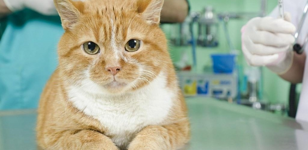 кастрированный кот хочет кошку