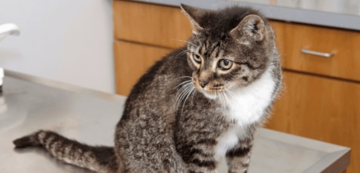 может ли кастрированный кот спариваться с кошкой