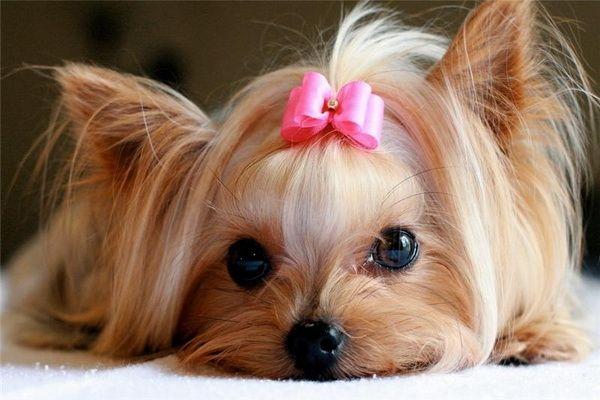 эструс у собак