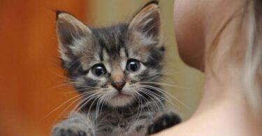 ВИЧ у кошек