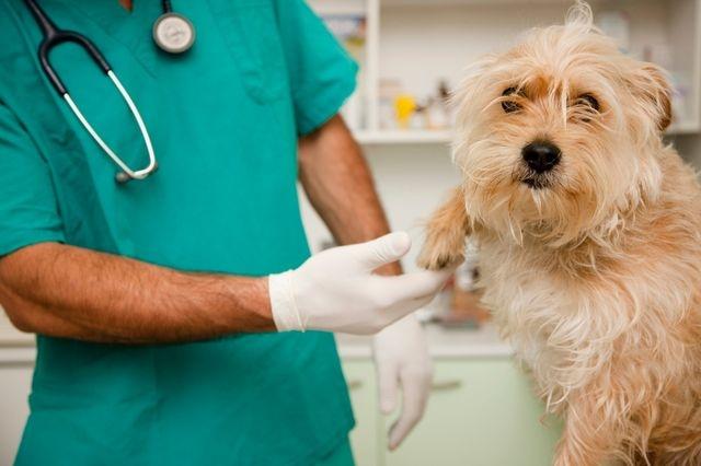 чистка параанальных желез у собак