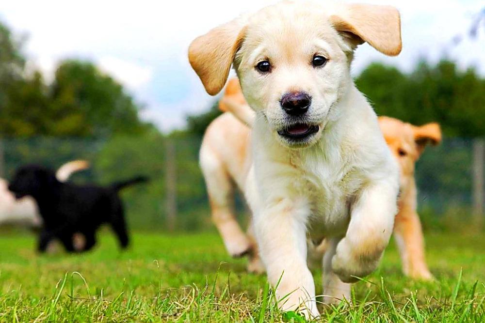 воспитание щенка лабрадора