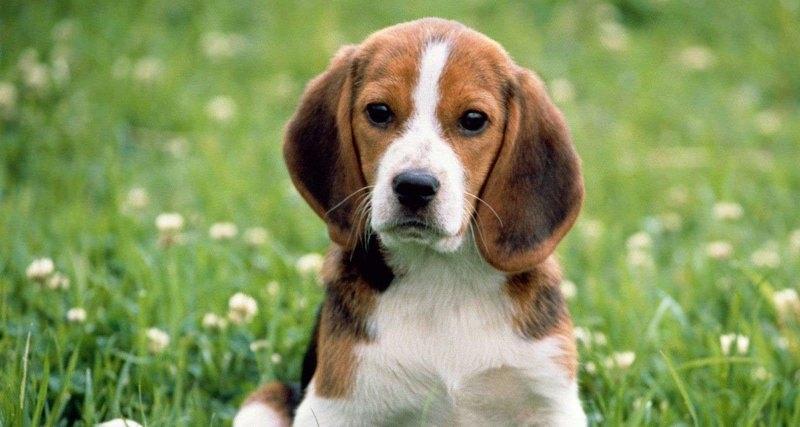 у собак год за сколько идет