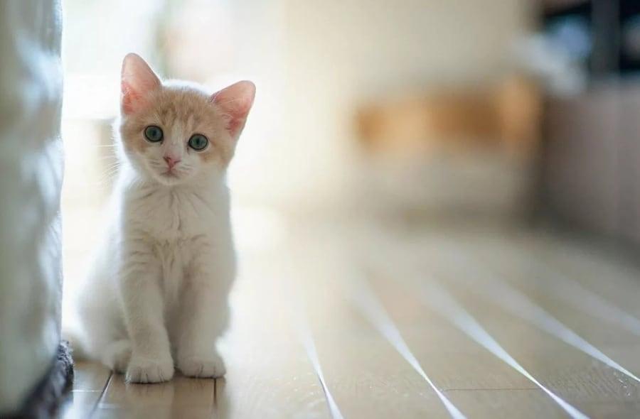 кошачьи вши