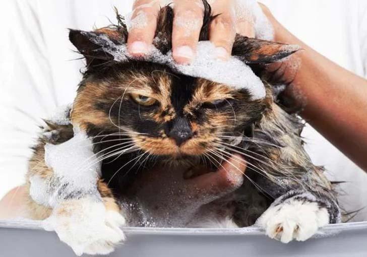 вши у кошек передаются человеку