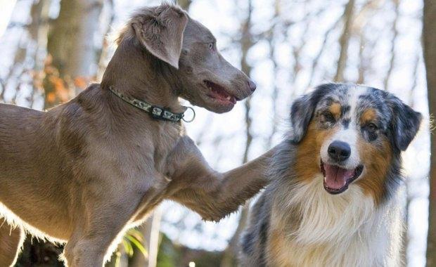 когда можно вязать собаку в первый раз