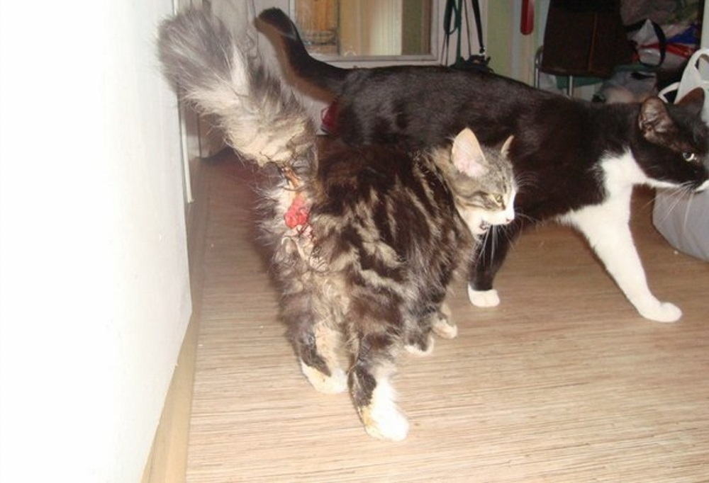 выпадение прямой кишки у котенка