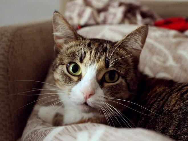 хейлетиоз у кошек