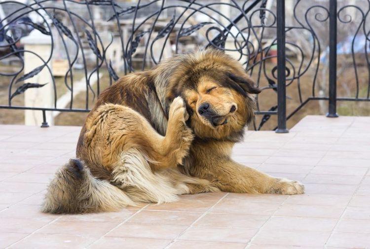 хейлетиоз у собак лечение