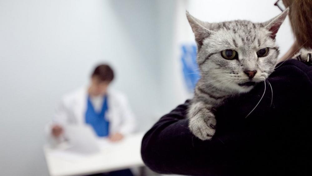 можно ли заразиться хламидиозом от кошки