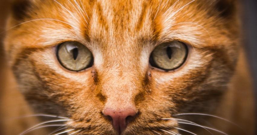 хламидиоз глаз у кошек