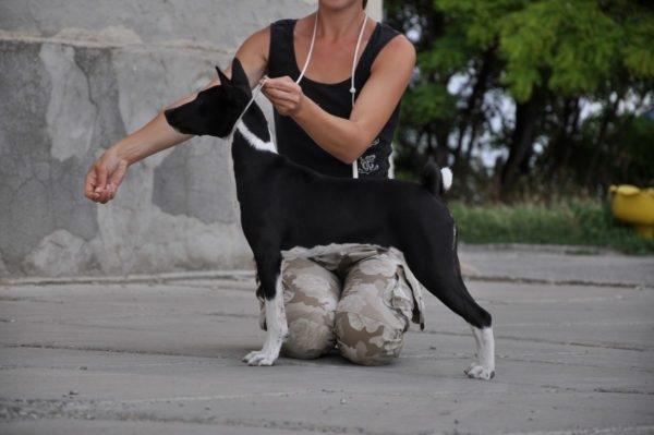 как измерить собаку в холке