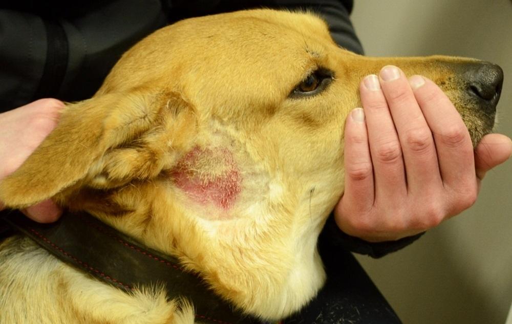 атопия у собак лечение