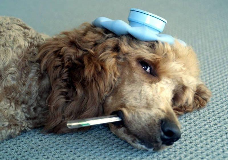 болезни старых собак и их симптомы