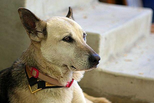 чесотка у собак симптомы и лечение