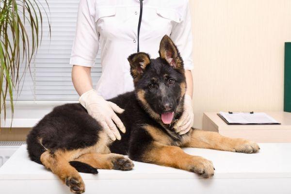 дисплазия у собак симптомы