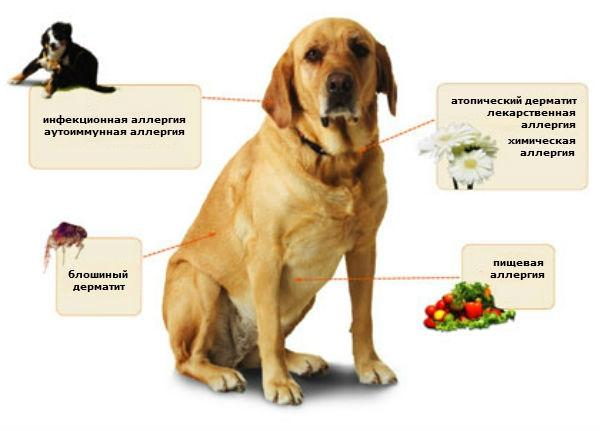 проявление аллергии у собак