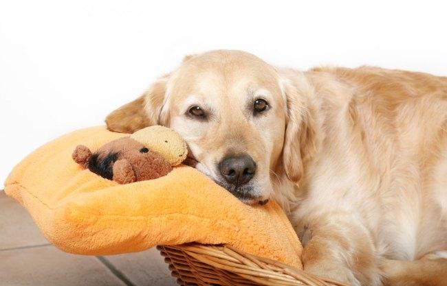 мнимая беременность у собак