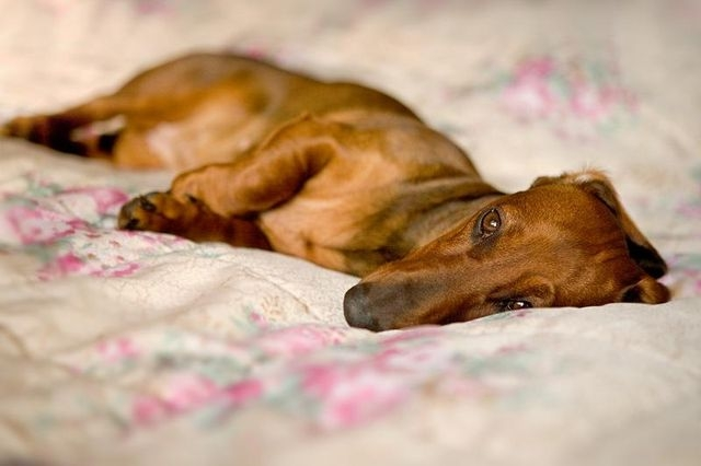 ложная беременность у собак симптомы и лечение