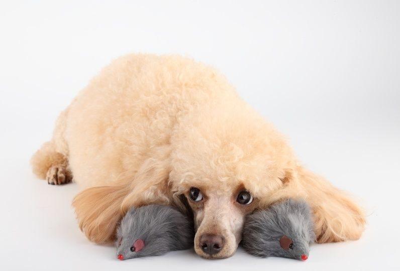 ложная беременность у собаки что делать