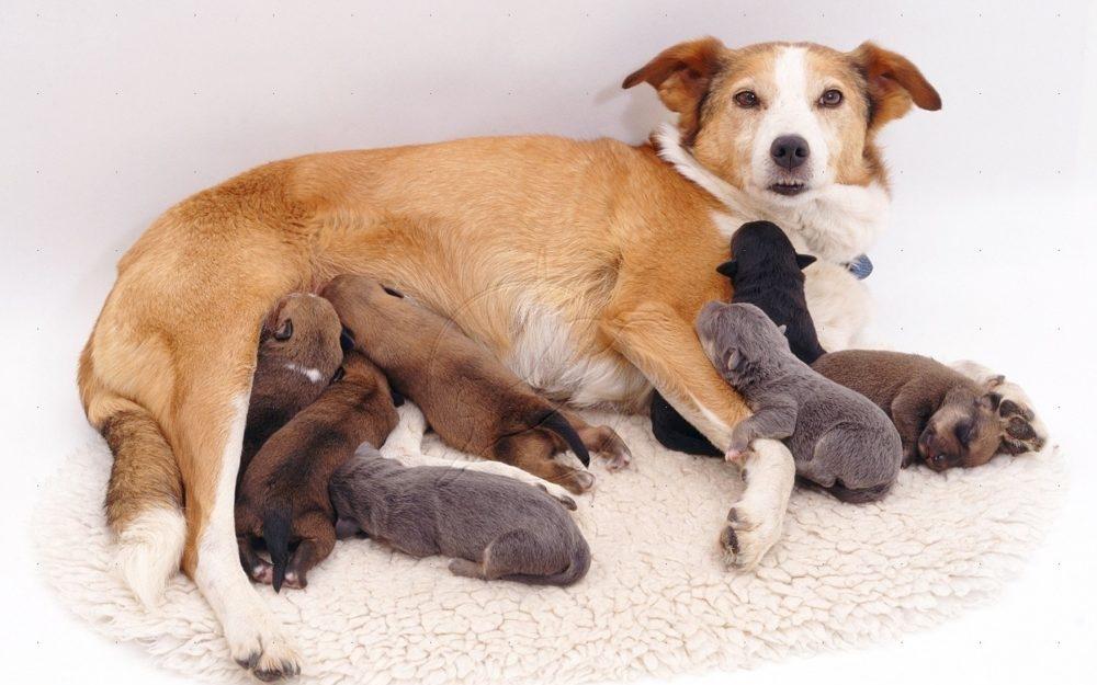 мастит у собаки симптомы фото