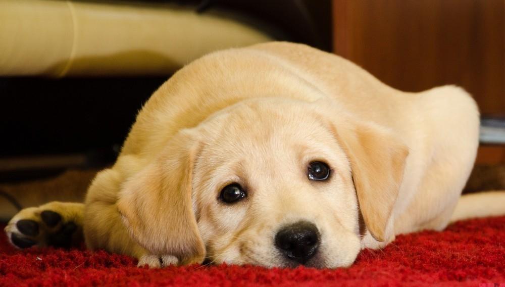 непроизвольное мочеиспускание у собак