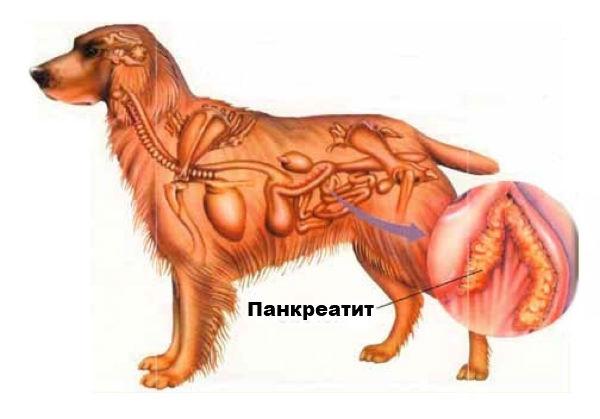 панкреатит у собаки симптомы лечение кормление
