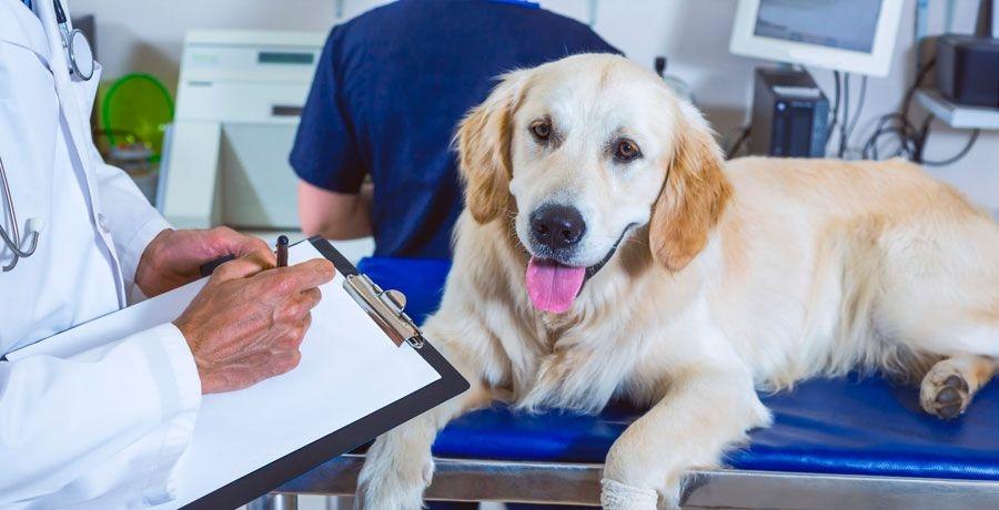 бабезиоз у собак симптомы
