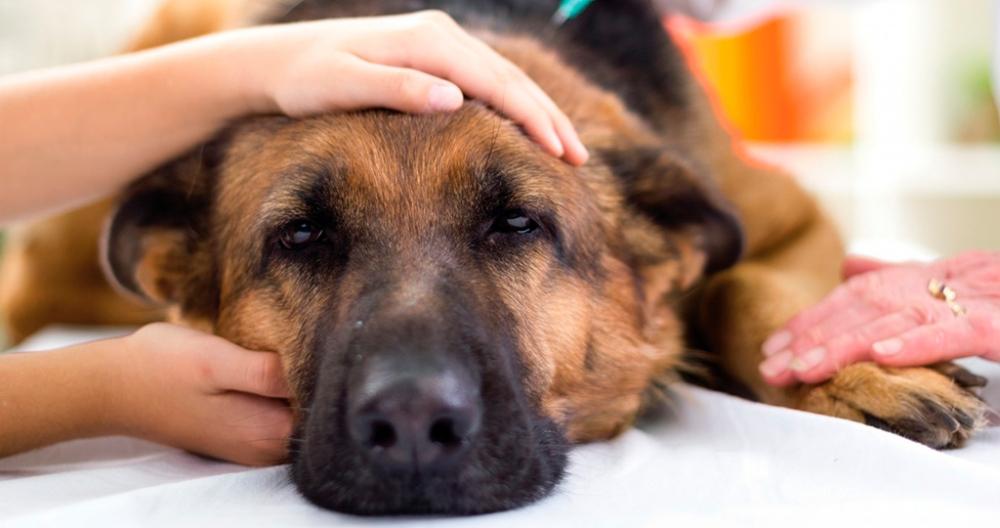 пироплазмоз у собак инкубационный период