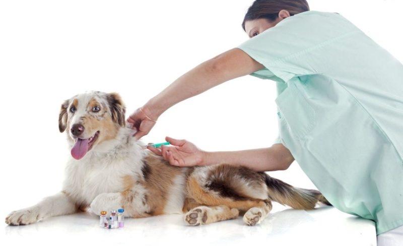 прививки от бешенства для собак