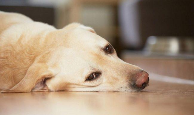 беременность у собак по дням